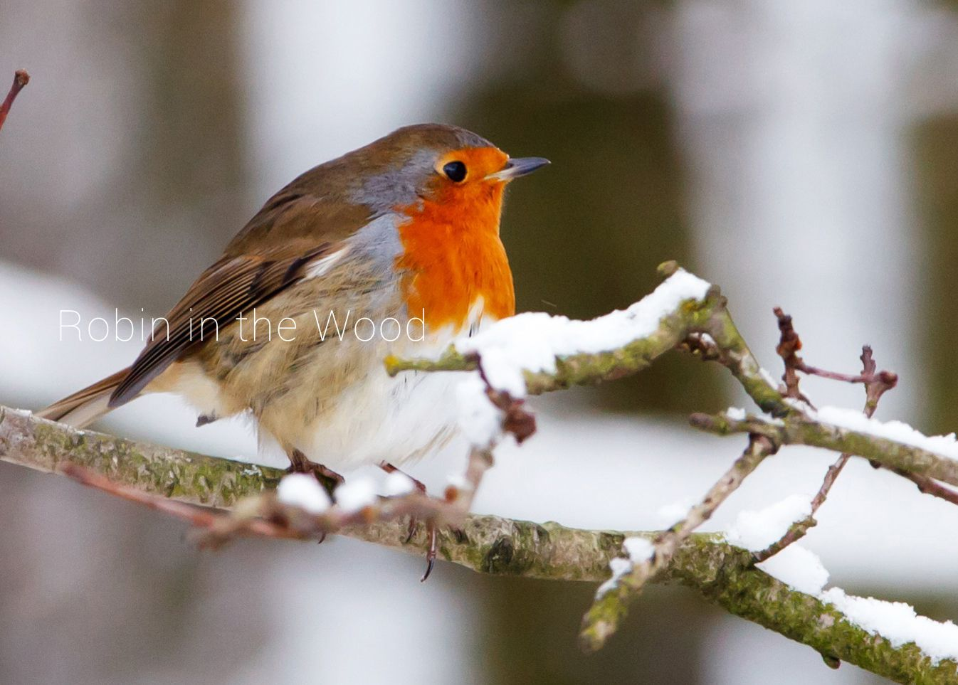 Robin in the Wood